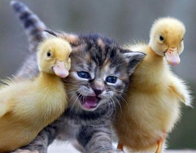 kitty and ducks