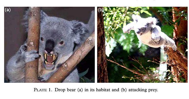 drop-bear-image.jpg