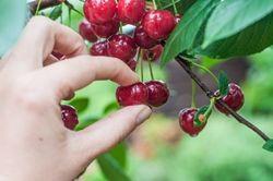 Cherry-picking.jpg